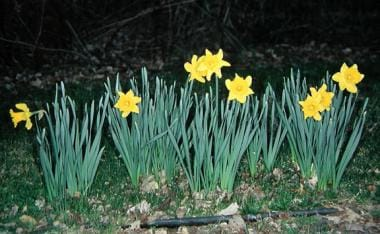 Daffodils, Narcissus pseudonarcissus, are also kno