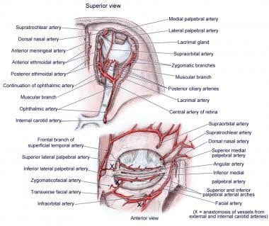 Anatomy of arterial supply, orbit.