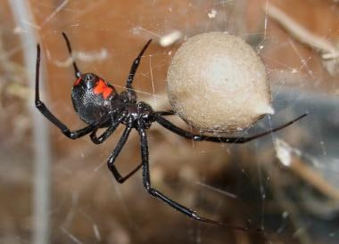Female black widow spider guarding an egg case; sp