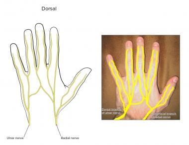 Dorsal digital nerves.