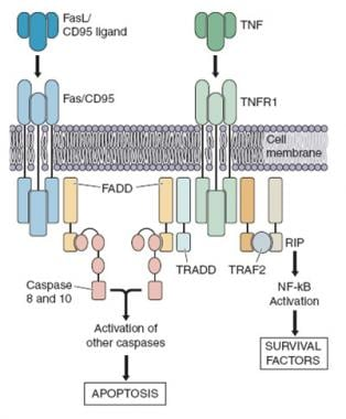 The extrinsic pathway of apoptosis. Mutations have