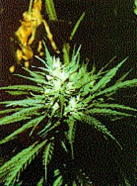 Flowering top of cannabis plant.