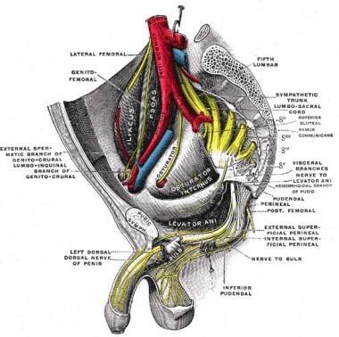 Sacral Plexus Anatomy Overview Gross Anatomy Natural Variants
