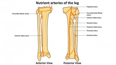 Blood vessels of leg and nutrient arteries to tibi