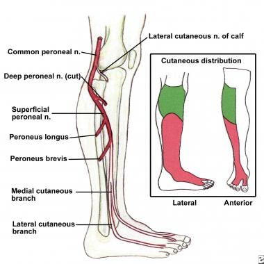 Common and superficial peroneal nerves, branches,