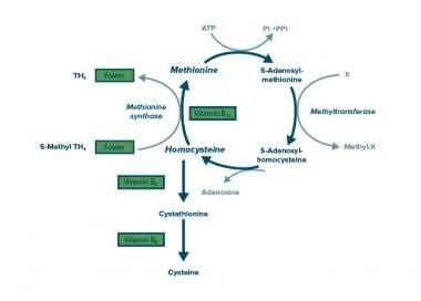 Homocysteine Metabolism Cycle