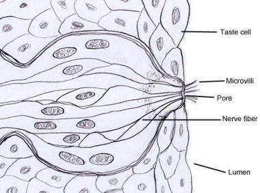 Diagram of the taste bud showing the microvilli.