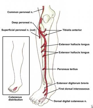 Deep peroneal nerve, branches, and cutaneous inner