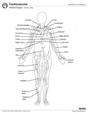 Arterial supply, anterior view.