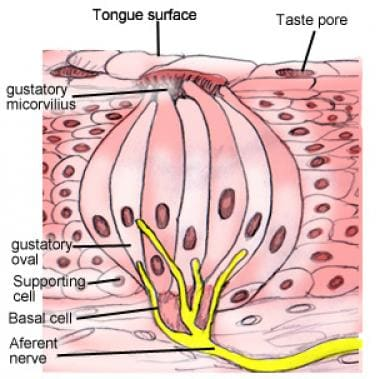 Section through taste bud depicting the sensory ne