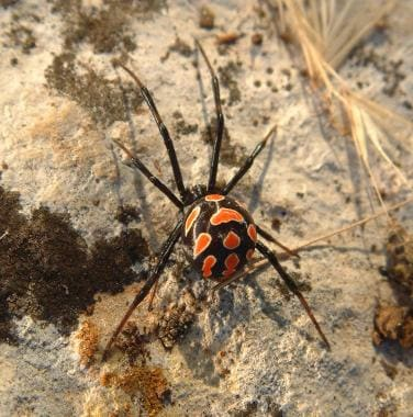 Young female Latrodectus tredecimguttatus; photo t