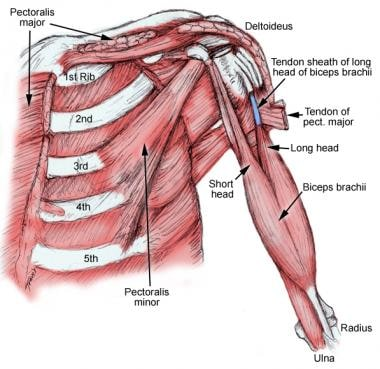 Biceps brachii anatomy. Note the tendon sheath of