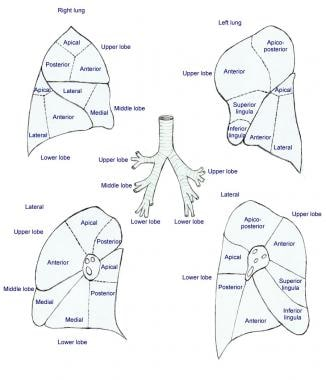 Lung anatomy: lobes and segments.