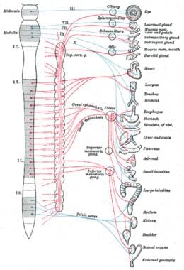 Autonomic nervous system anatomy overview gross anatomy cardiac autonomic nervous system ccuart Choice Image