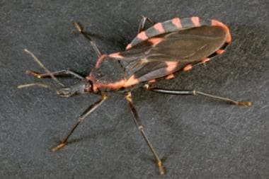 Kissing bug (Triatoma sanguisuga) can be a vector