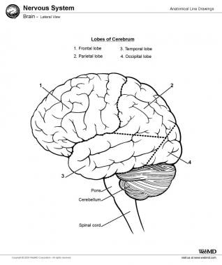 Brain, lateral view.