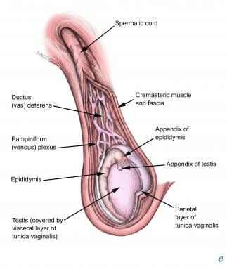 Spermatic cord and adjacent structures.