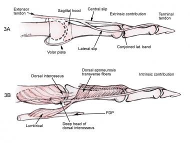 Both the intrinsic muscle and the extensor digitor