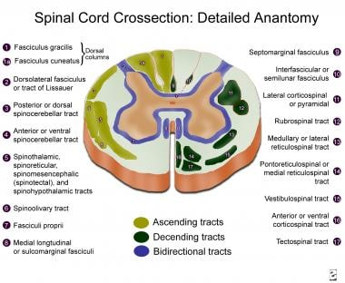 Spinal cord cross-section, detailed anatomy.