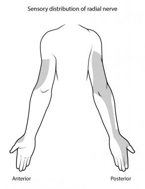 Sensory distribution of the radial nerve.