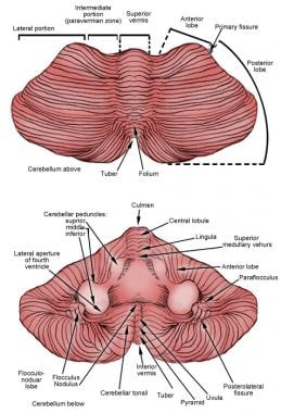 Top and anterior views of cerebellum.