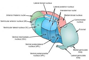 Major nuclei of thalamus.