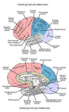 Gross anatomy of cerebrum