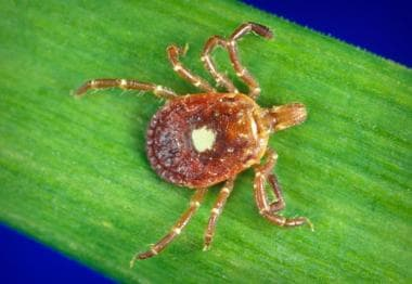 Female Lone Star tick, Amblyomma americanum, found