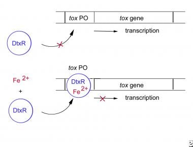 The corynebacterial tox gene is regulated by the c