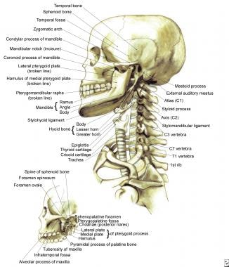 Bony framework of head and neck.