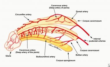 The arterial blood supply of the penis arises from