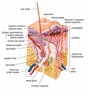 Epidermis, dermis, and subcutis, showing hair foll