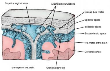 Cross-sectional view of meninges and dural venous