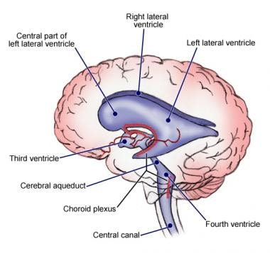 The ventricular system of the human brain.