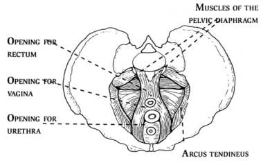 The pelvic diaphragm (ie, levator ani musculature)