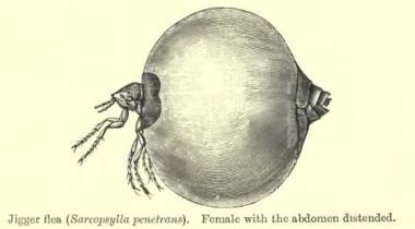 Illustration of Tunga penetrans (sand flea) in its