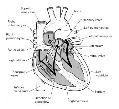 Cardiovascular System Anatomy Overview Gross Anatomy Natural Variants