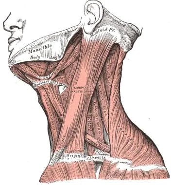 Image result for neck anatomy