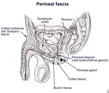 Fascial envelopment of the perineum (male). Note h