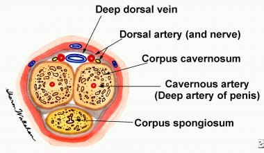 Cross-section through the body of the penis.