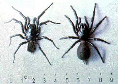 The Sydney funnel-web spider, Atrax robustus. Male