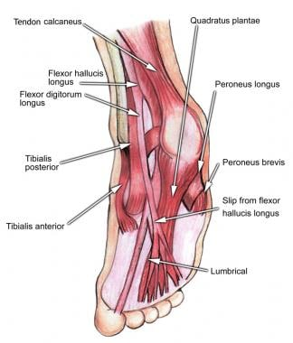 Select tendons of the foot.