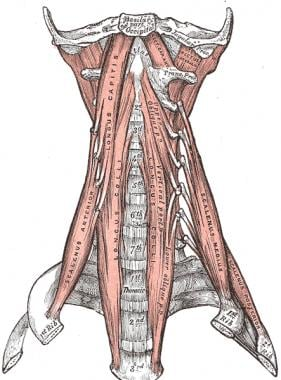 The anterior vertebral muscles.