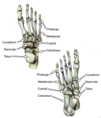 Select bones of the foot (dorsal and plantar views