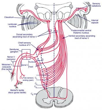 Schematic representation of the trigeminal nerve w