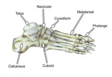 Select bones of the foot (superolateral view).