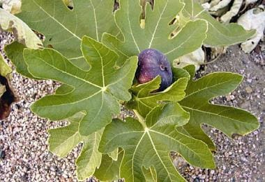 Ficus. The common fig contains furocoumarins and s