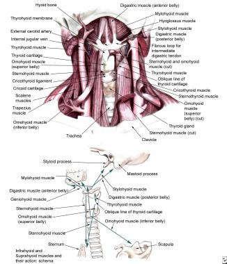 Infrahyoid and suprahyoid muscles.