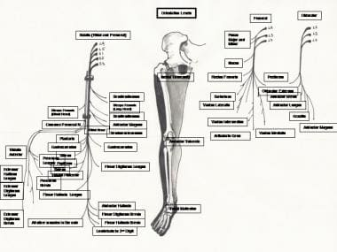 Peripheral nerve supply to the muscles in the lowe