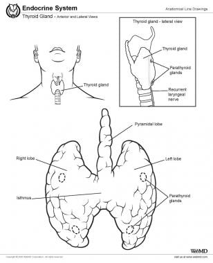 Thyroid anatomy.